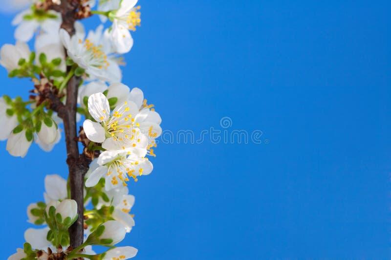 De kersenbloesem van de lente stock foto's