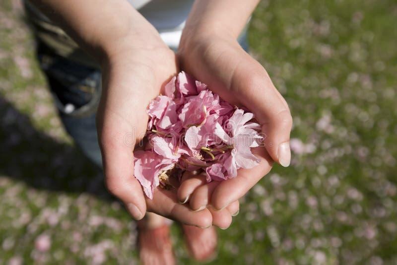 De kersenbloesem van het handvol royalty-vrije stock foto's