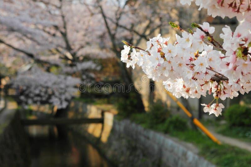 De kersenbloesems van Sakura stock afbeelding
