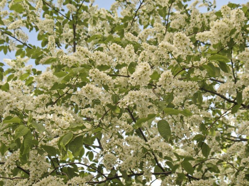 De kersenboom van de vogel royalty-vrije stock afbeelding
