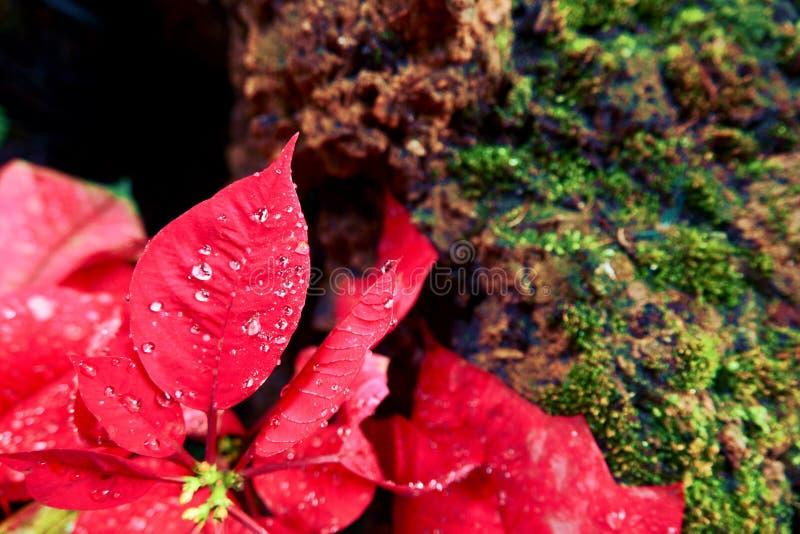 De de Kerstmisbloem of poinsettia met druppeltje na de regen, sluiten omhoog rode bladeren bloemen in de tuin royalty-vrije stock afbeeldingen