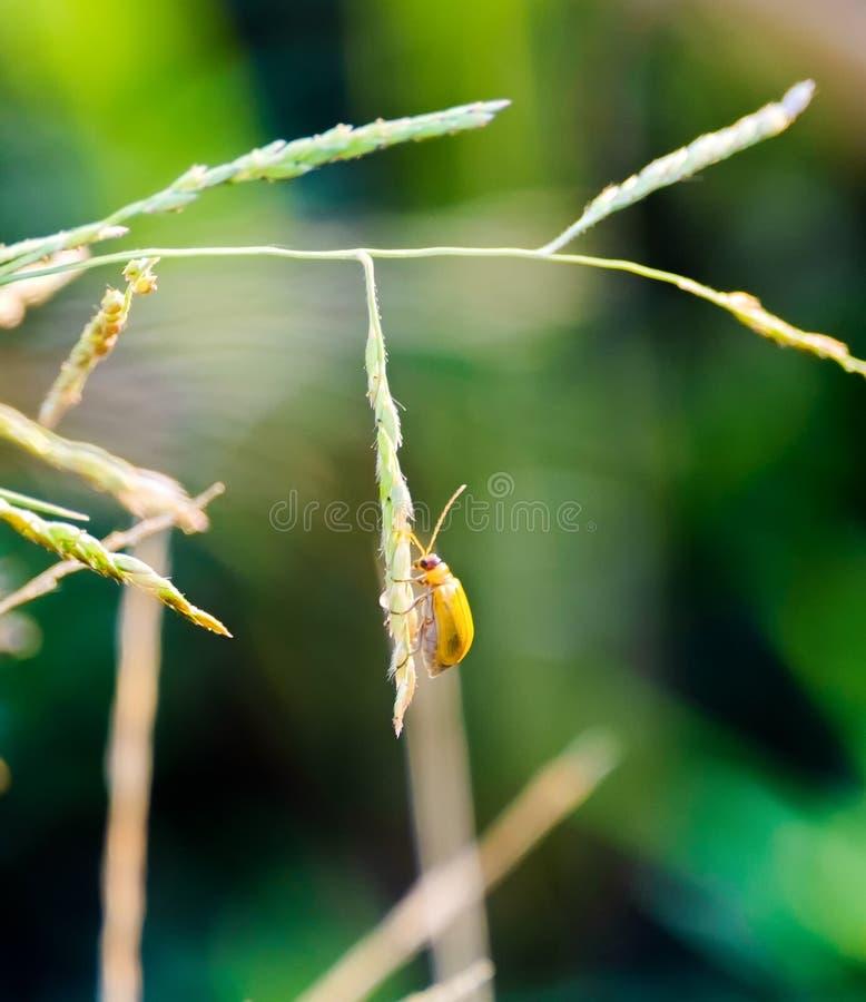 De kever van het de pompoenblad van de pompoenkever, gele smal pompoenkever, stock fotografie