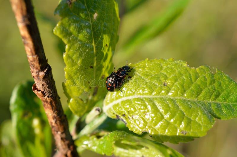 De kevers die van Glischrochilusquadripunctata op een klein blad in de zomer koppelen royalty-vrije stock foto