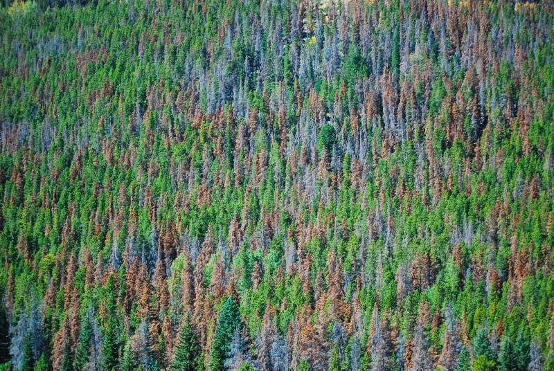De Keverschade van de bergpijnboom royalty-vrije stock afbeeldingen