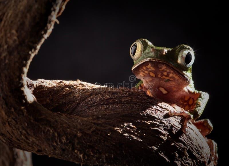 De kikker van de boom bij nacht in maanlicht stock foto's