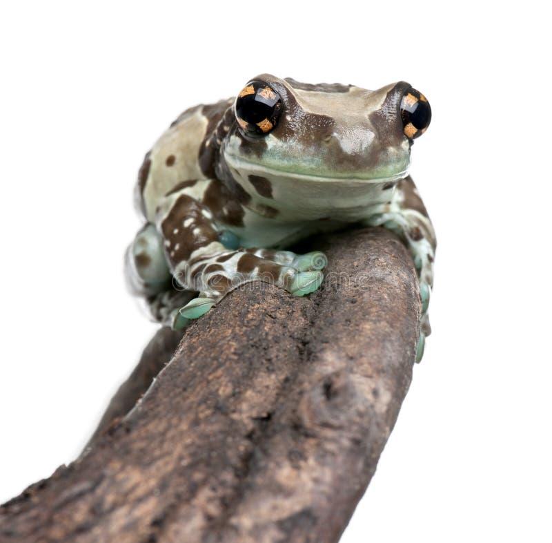 De Kikker van de Melk van Amazonië die op tak wordt neergestreken royalty-vrije stock foto's