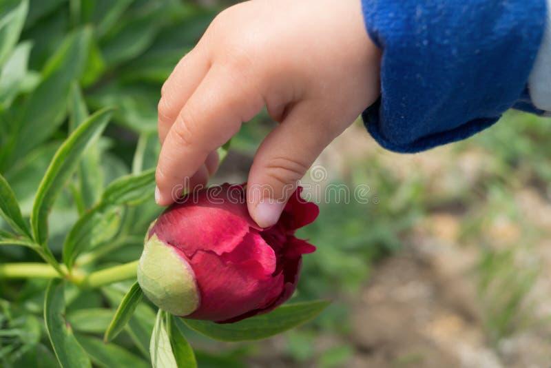 De kind` s hand raakt een knop van pioen stock afbeelding