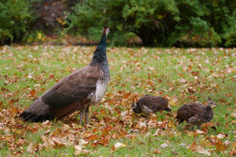 De kip en de kuikens van de pauw stock afbeelding