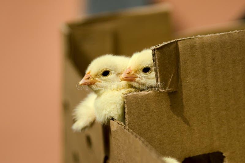 De kip van de baby in de doos stock afbeelding