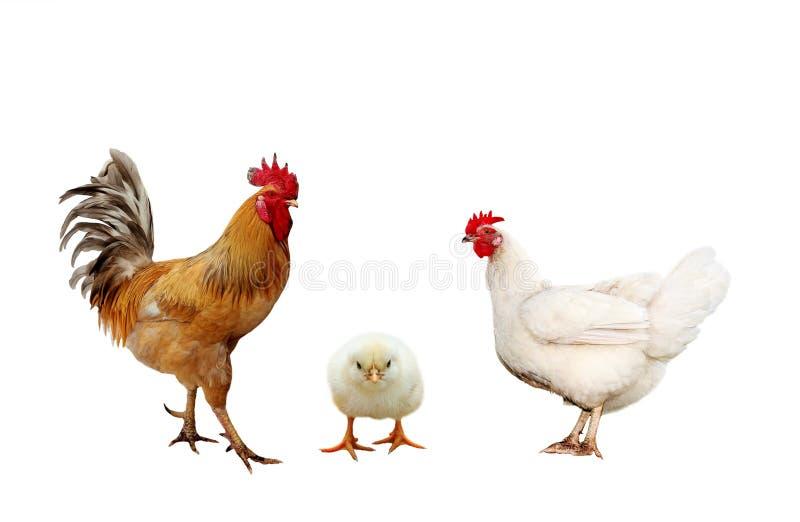 De kip van het landbouwbedrijfvogels van het familieportret, heldere rode hanen geel l stock fotografie