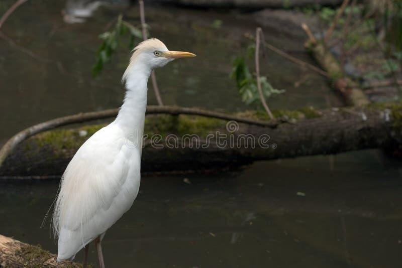 Download De Kip van het water stock foto. Afbeelding bestaande uit ibis - 39392