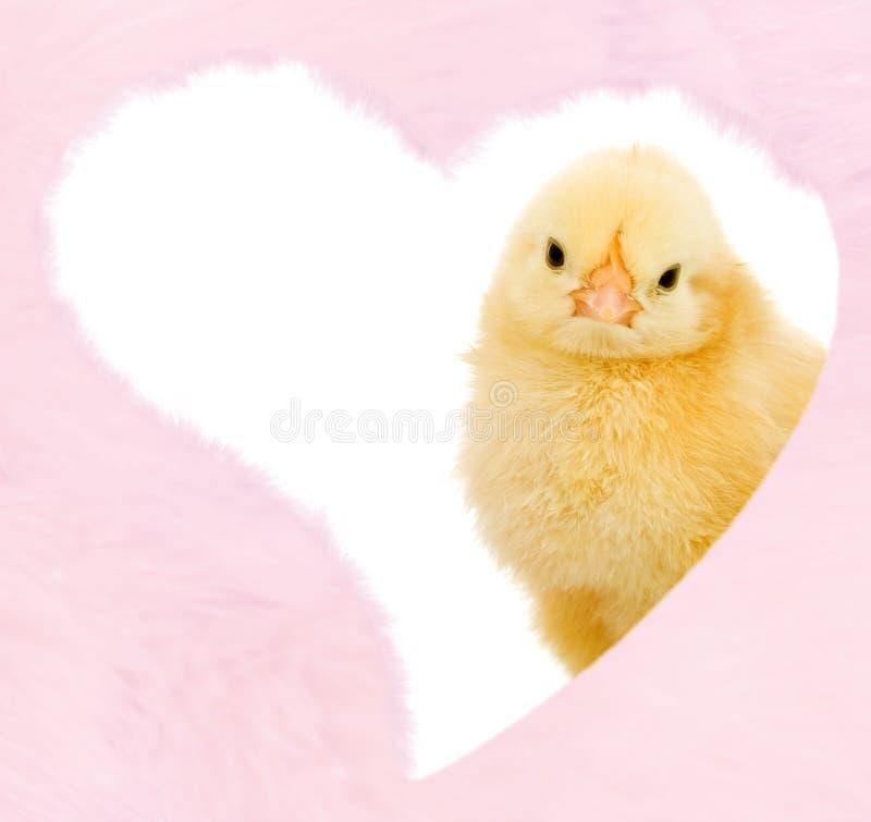 De kip van valentijnskaarten binnen pluizig roze hart royalty-vrije stock fotografie