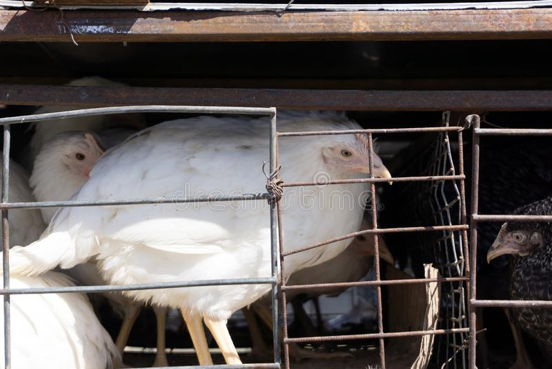 De kippen van eierenkippen in kooien industrieel landbouwbedrijf royalty-vrije stock foto