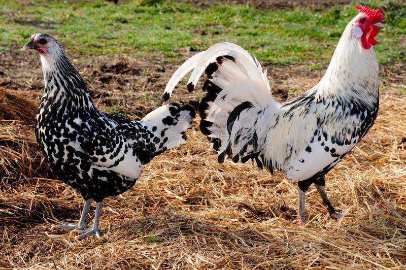 De kippen van Hamburg royalty-vrije stock foto's
