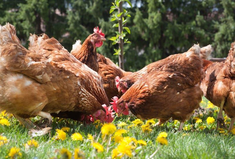 De kippen van het eierleggen stock foto's