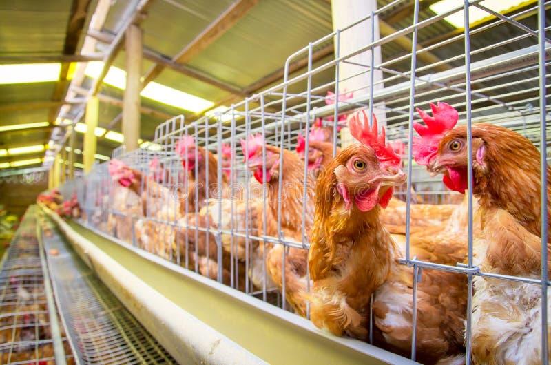 De kippen van het gevogeltelandbouwbedrijf en eieren, vogelhuis royalty-vrije stock foto