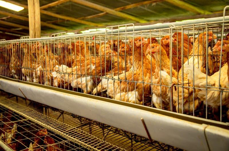De kippen van het gevogeltelandbouwbedrijf en eieren, vogelhuis royalty-vrije stock foto's