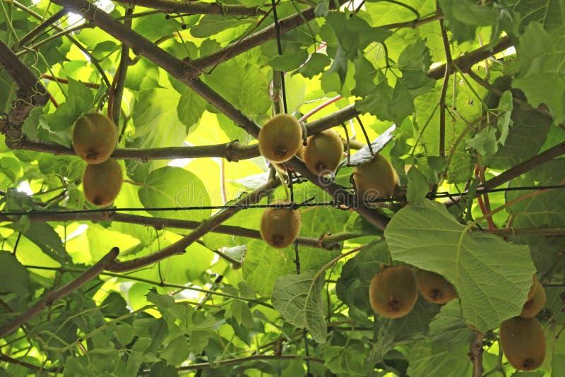 De kiwivruchten op een tak, blured nadruk Met takken en bladeren Natuurlijke tuin in Montenegro stock afbeeldingen