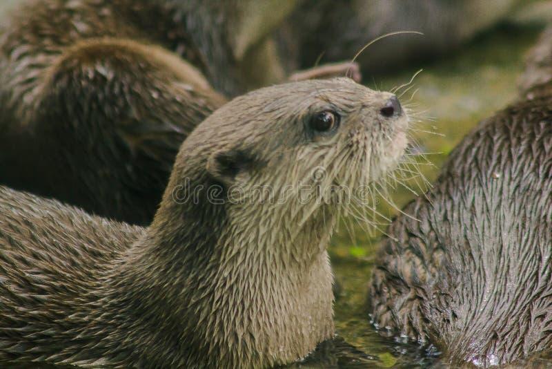 De klein-gekrabde Otter met het donkere bruine gebied van de haar Witte hals het haar is vrij kort royalty-vrije stock afbeeldingen