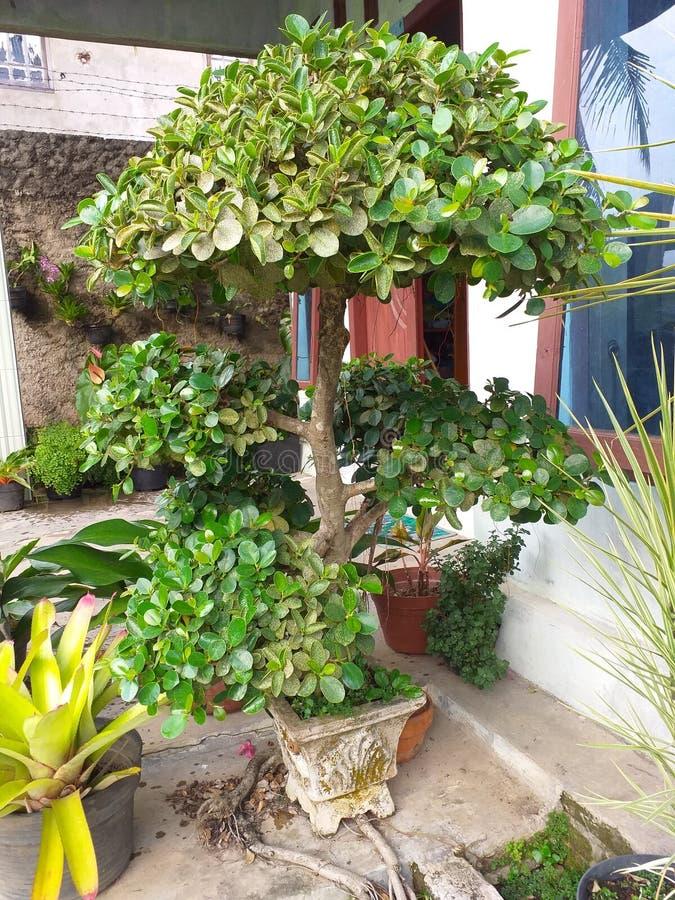 de kleine bladeren van de bonsaiboom royalty-vrije stock afbeelding