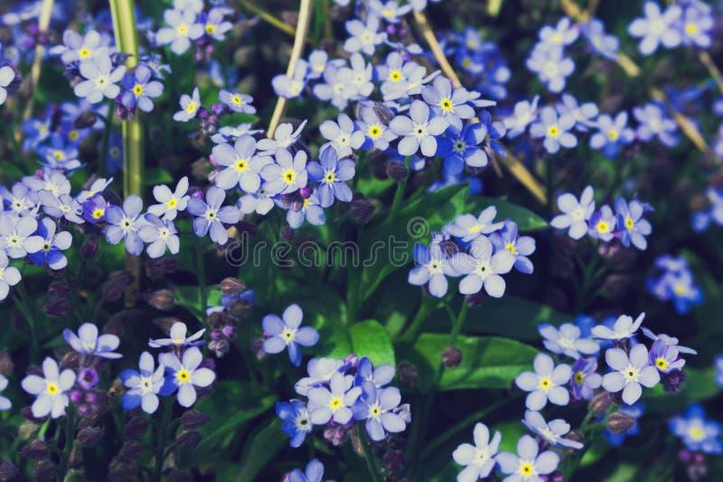 De kleine blauwe bloemen groeien in een bloemtuin op een zonnige dag Het vergeet-mij-nietje Myosotis behoort tot de Buraginov-fam royalty-vrije stock foto's