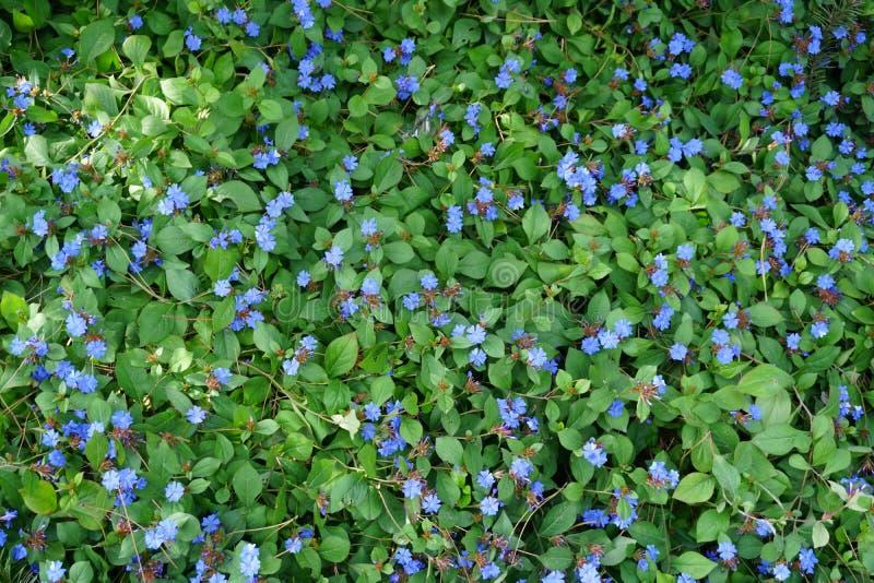 De kleine blauwe bloemen spreed uit royalty-vrije stock foto