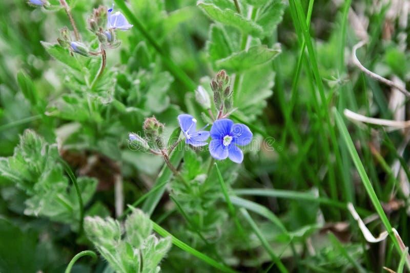De kleine blauwe dichte omhooggaande vlam van de tuinbloem royalty-vrije stock foto
