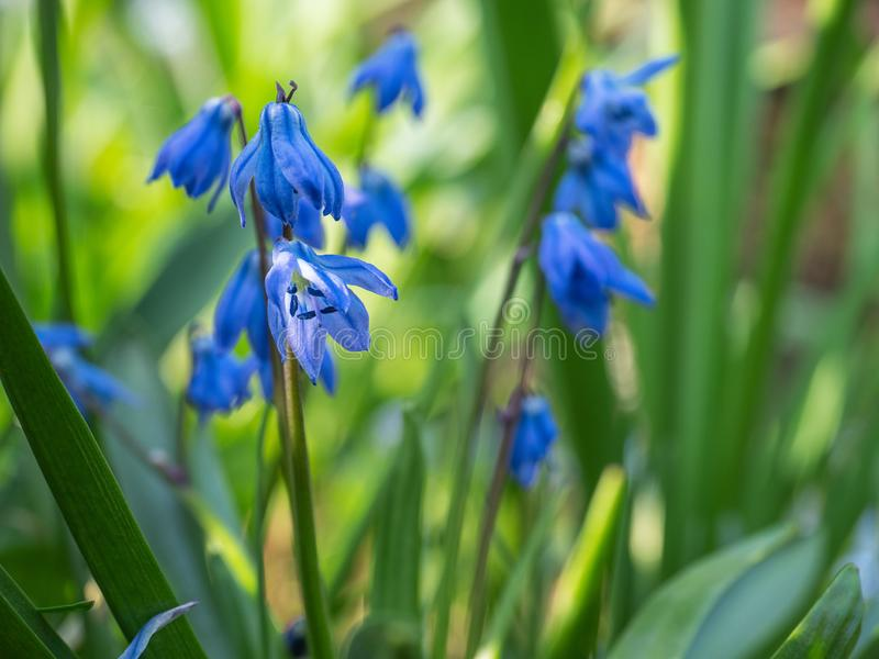 De kleine bloemen Stsilla van de lente blauwe sleutelbloemen op een bosopheldering royalty-vrije stock afbeelding