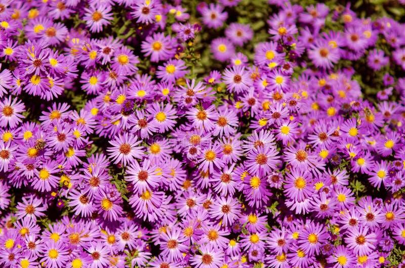 De kleine bloemen van tuinastra Groep Alpiene astersaster Alpinus royalty-vrije stock fotografie
