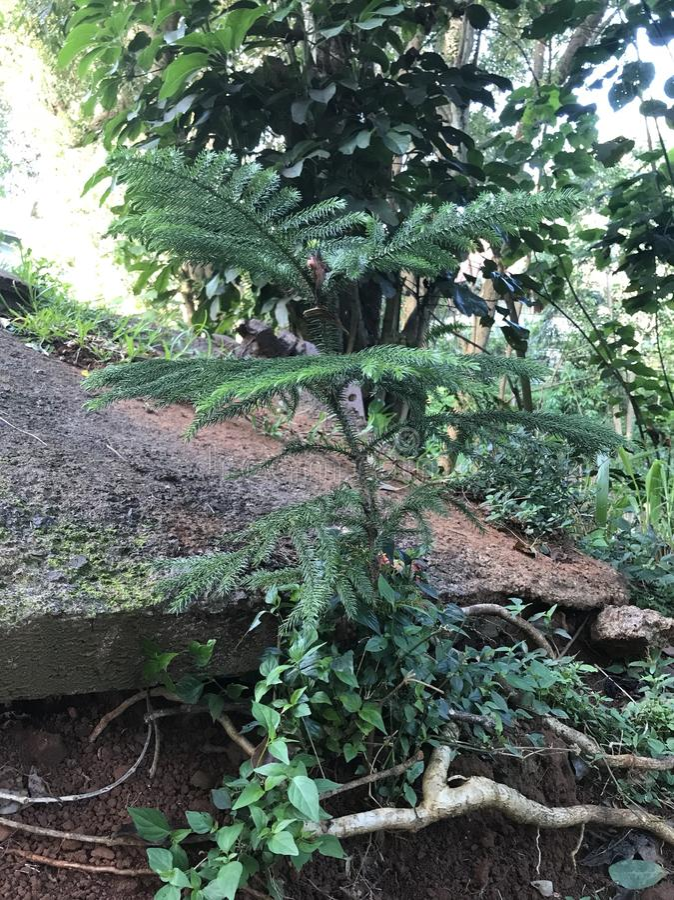 De kleine Boom van de Pijnboom stock afbeeldingen