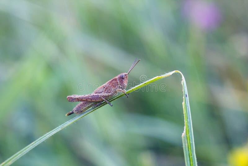 De kleine bruine sprinkhaan zit op groen gras stock fotografie