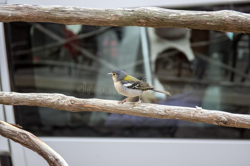 De kleine brutale vogel van Fringilla coelebs maderensis, kleurrijke madeiran vink op traliewerk stock afbeelding