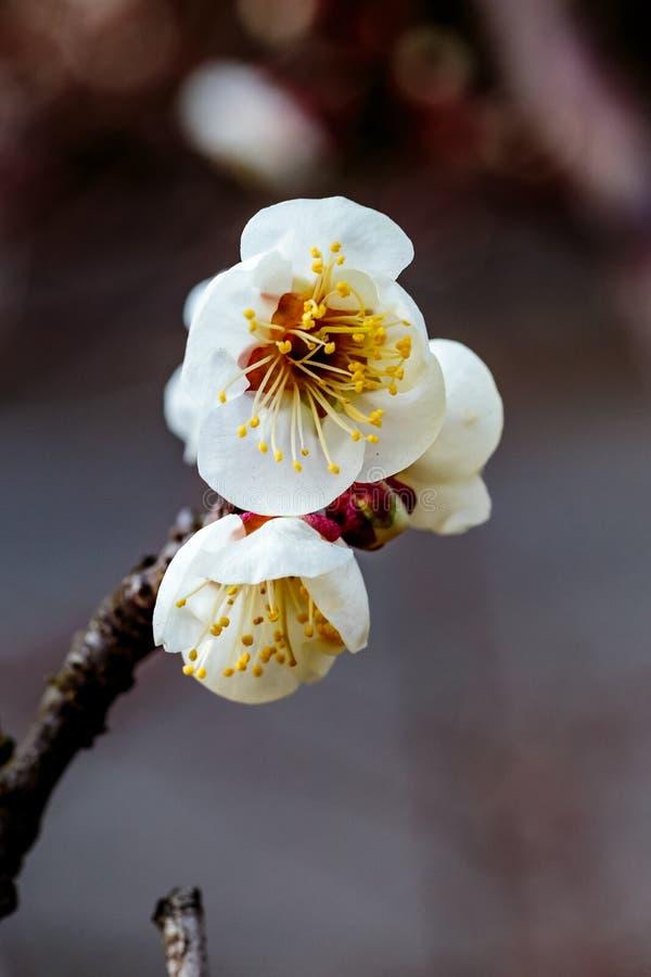 De kleine cluster van pruim komt macro tot bloei stock afbeeldingen