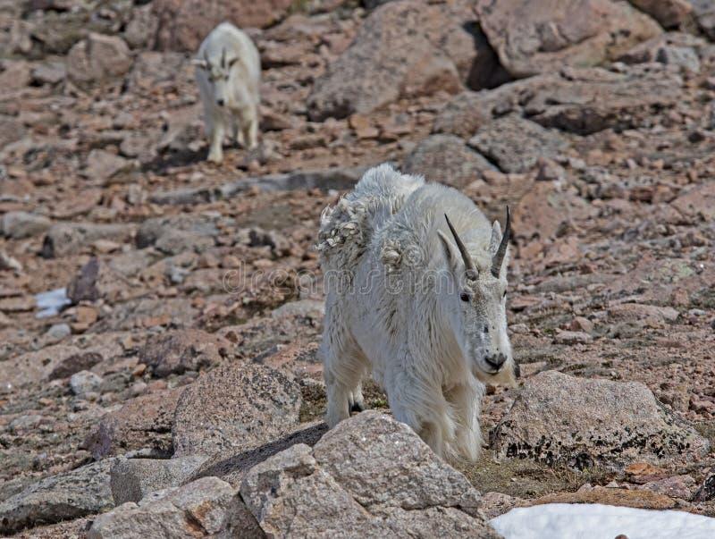 De kleine familie van berggeiten op MT Evans, Colorado stock foto's