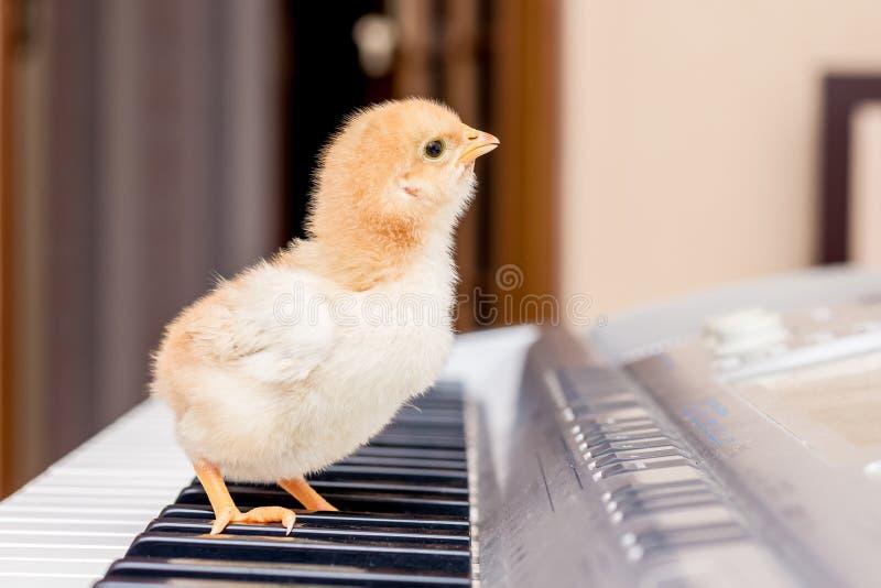 De kleine gele kip bevindt zich op de pianosleutels De eerste mus stock afbeeldingen