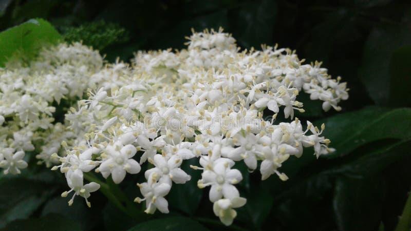 De kleine gevoelige bloemen van vlierbes schilderden wit stock fotografie