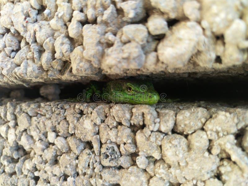 De kleine groene hagedis die tussen de bouwstenen verbergen en op wat letten gebeurt royalty-vrije stock fotografie