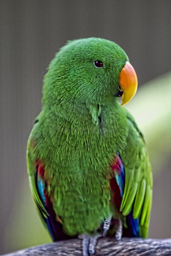 De kleine Groene Papegaai zit op een Tak royalty-vrije stock afbeelding