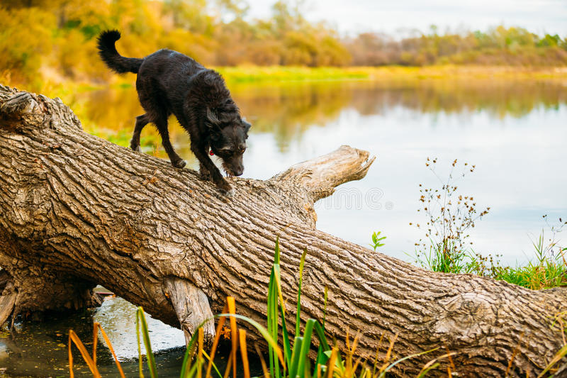 De kleine Hond die van het Grootte Zwarte Gemengde Ras op Boomstam van Gevallen Boom lopen royalty-vrije stock afbeelding