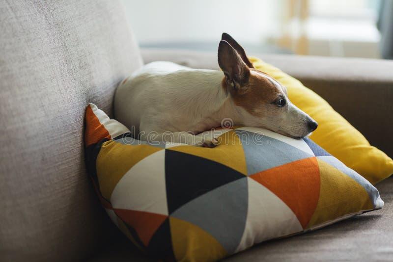 De kleine hond die van Jack Russell Terrier op een hoofdkussen met grafisch patroon rusten stock afbeelding