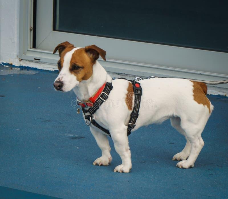 de kleine hond reist draagt een kraag en kijkt klaar voor avontuur royalty-vrije stock afbeelding
