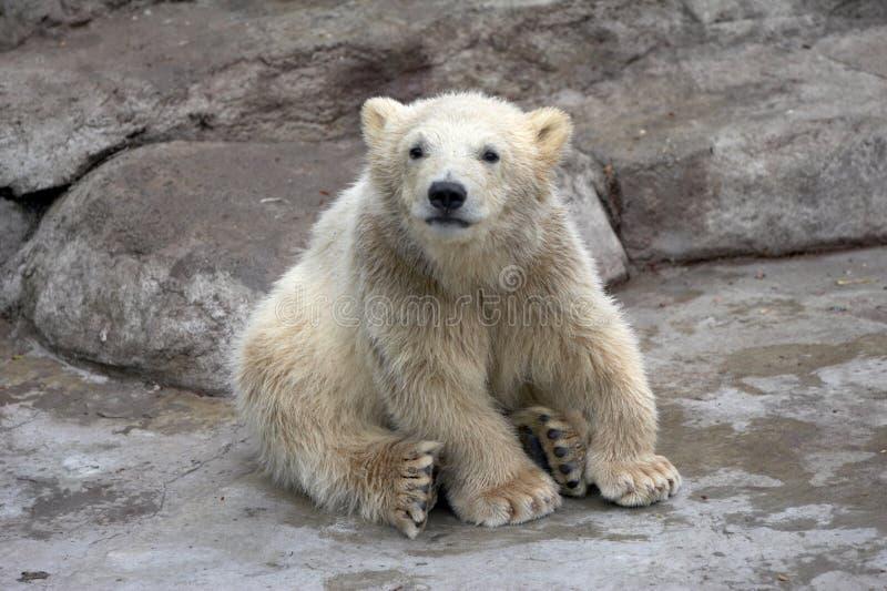 De kleine ijsbeer zit op stenen royalty-vrije stock afbeeldingen
