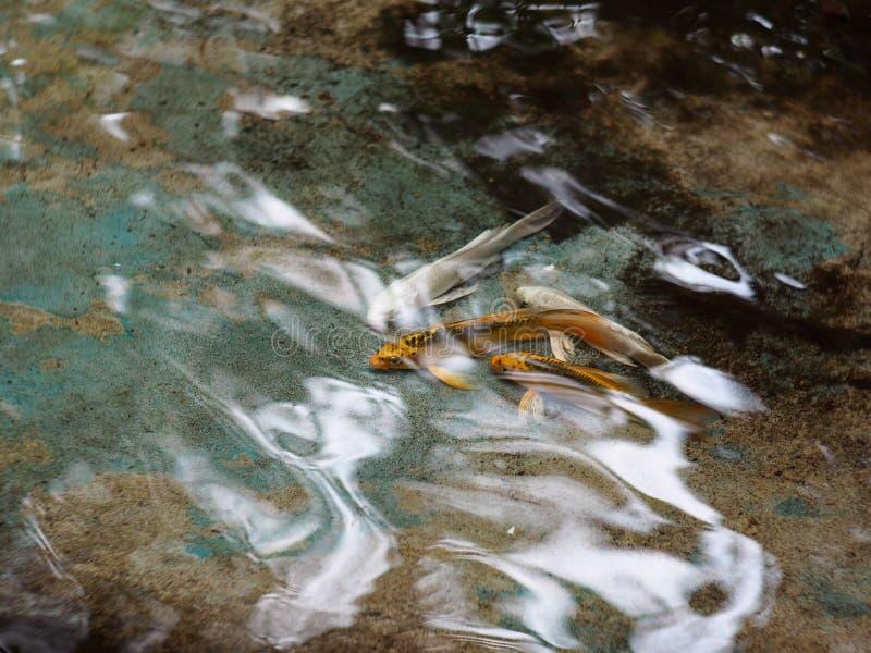 De kleine jongelui snakt vissen van de staart de witte zilveren gele gouden kleur KOI royalty-vrije stock foto