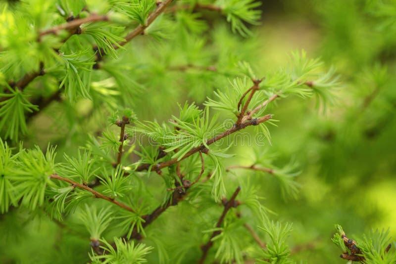 De kleine larixboom gaat dicht omhoog weg stock foto
