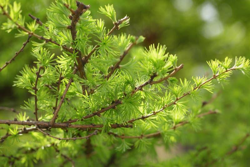 De kleine larixboom gaat dicht omhoog weg stock afbeeldingen