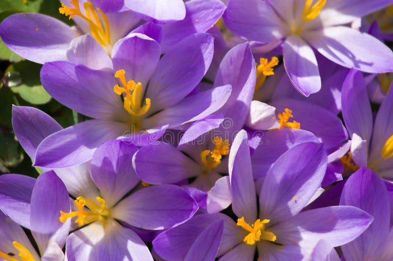 De kleine lente bloeit zacht bloeiende krokussen stock foto