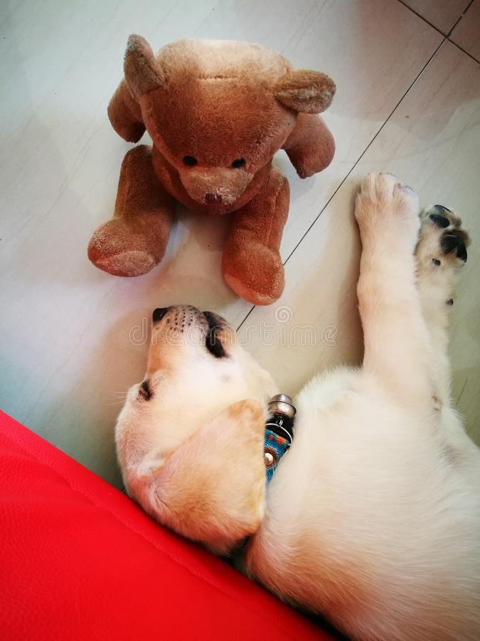 De kleine leuke hond slepping naast een teddybeerpop royalty-vrije stock afbeeldingen