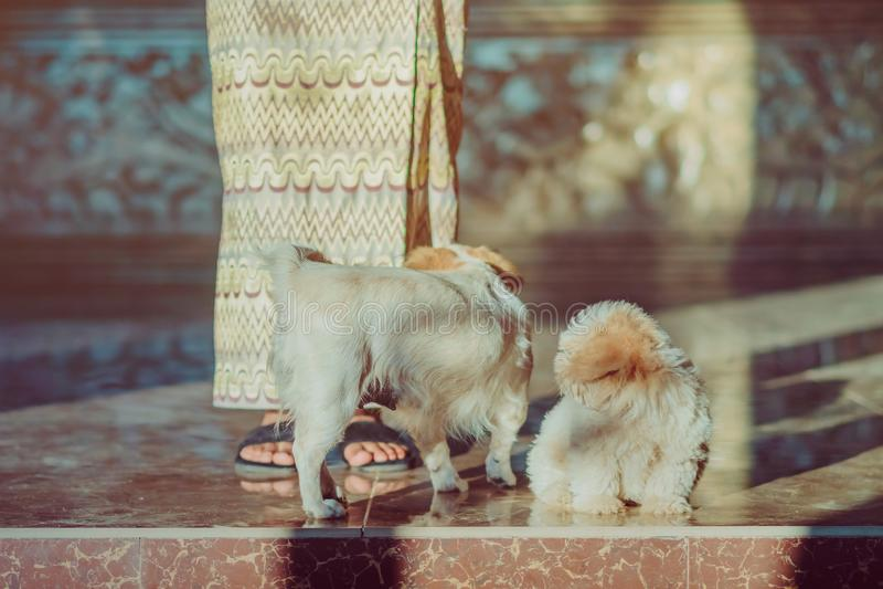 De kleine leuke honden wachten om gasten voor het hotel welkom te heten stock fotografie