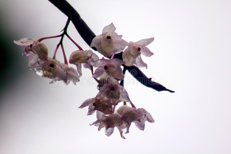 De Kleine Lipped Dendrobium-bloemen zijn lichtrose in kleur stock afbeeldingen