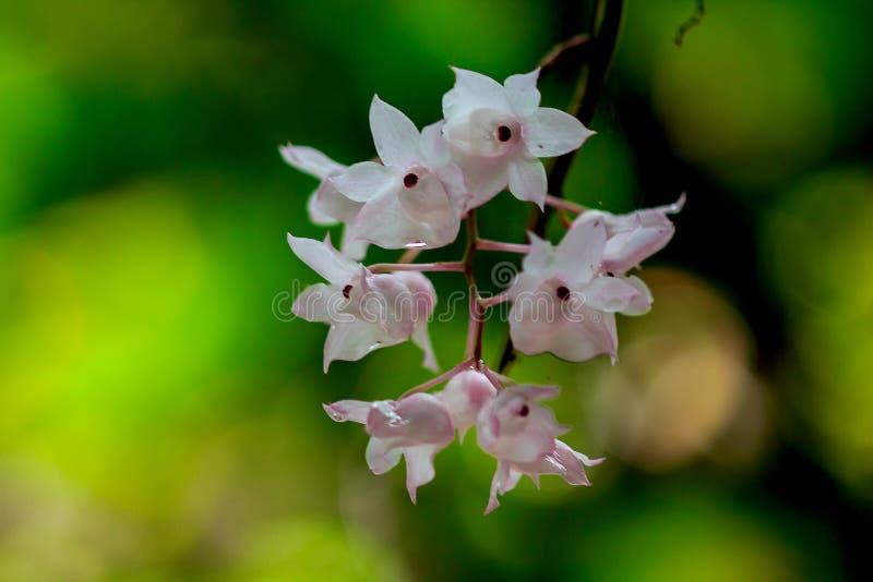 De Kleine Lipped Dendrobium-bloemen zijn lichtrose in kleur stock foto's